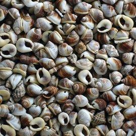 Mini Whelk, Batad
