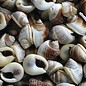 SEAURCO Mini Whelk Batad