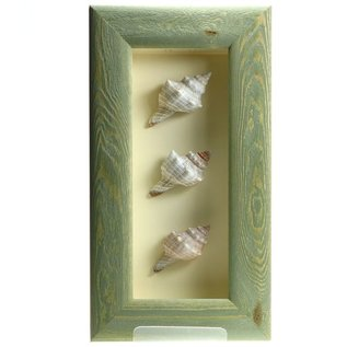 Triple Shell in a Green Box Frame  10x4 inches.