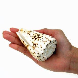 SEAURCO Surataneus Cone 5cm