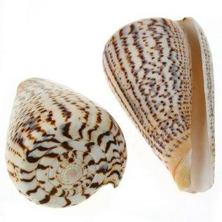 Surataneus Cone 5cm