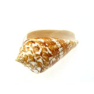 SEAURCO Medium Amadis Cone 3-5cm