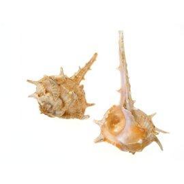 SEAURCO Bolinus Cornutus. 7cm