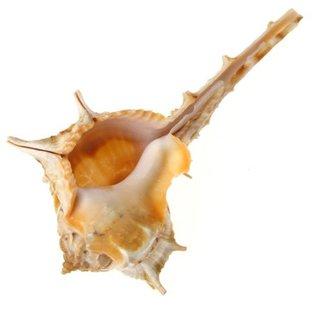 Small Bolinus Cornutus 7cm