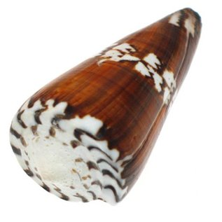 SEAURCO Small Vexillum Cone 3cm