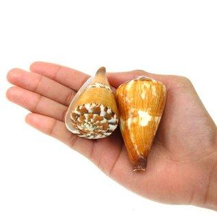 Small Vexillum Cone 3cm