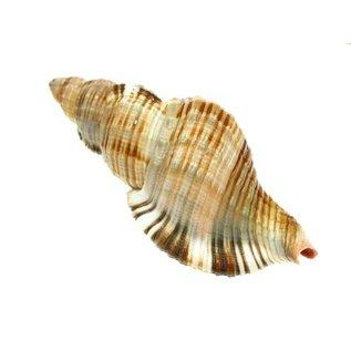 SEAURCO Assorted Pillarie Conch 6-8cm