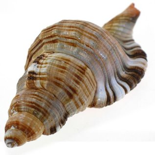 Assorted Pillarie Conch 6-8cm