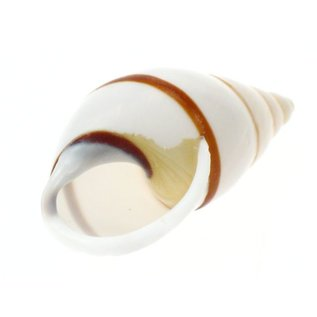 SEAURCO White Striped Snail 3cm