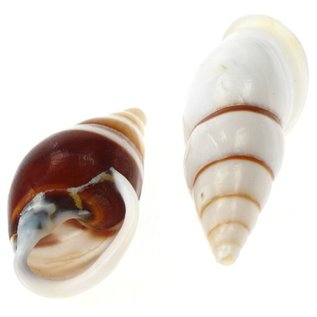 White Striped Snail 3cm