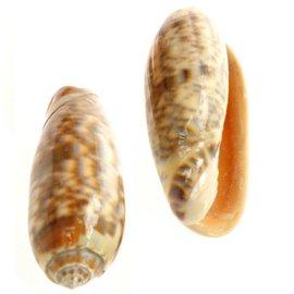 Medium Oliva Mineacea 4cm