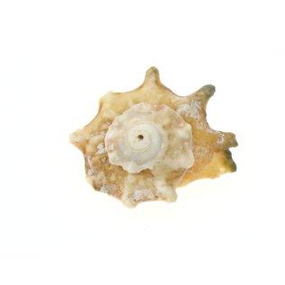 Medium Calcar Australium 2cm