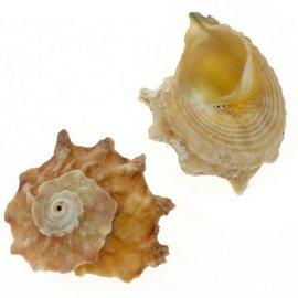SEAURCO Star Shell Calcar Australium