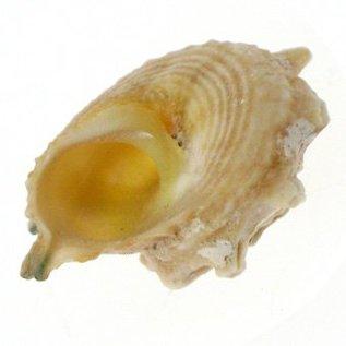 Calcar Australium