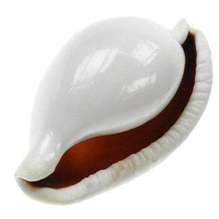 SEAURCO Eggshell Cowrie 6cm