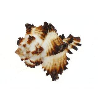 SEAURCO Small Zebra Murex 3cm