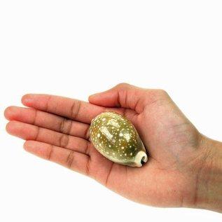 SEAURCO Fawn Cowrie 4cm