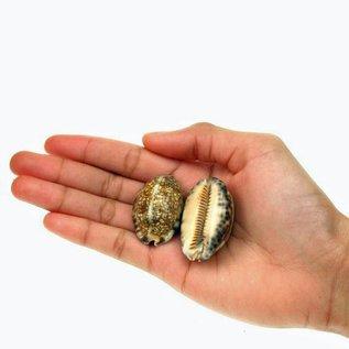 Medium Arabica Cowrie 3-4cm