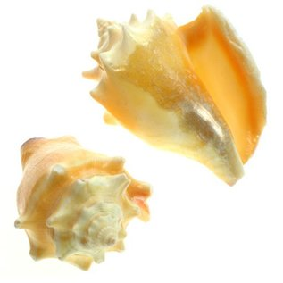 SEAURCO Primrose Conch 5cm