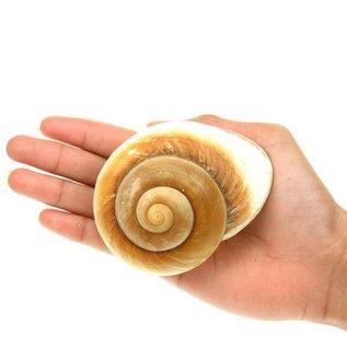 SEAURCO Giant Brown Snail 7cm