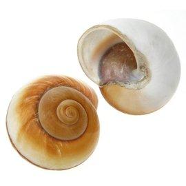Giant Brown Snail 7cm
