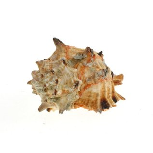SEAURCO Ex-Large Pink Hoplites Murex6cm