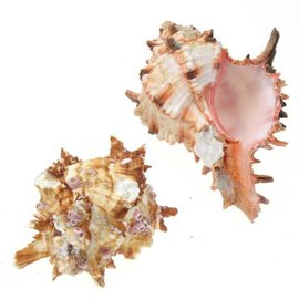SEAURCO Medium Pink Hoplites Murex 5cm