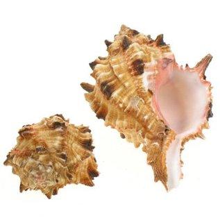 Baby Pink Hoplites Murex 4cm