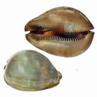 SEAURCO Medium Stercoraria Cowrie 5-6cm