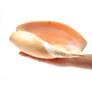 SEAURCO Melon Cymbium 22cm