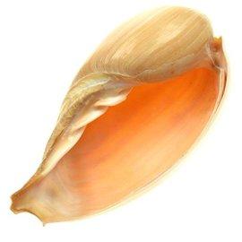 SEAURCO Melon Cymbium 14cm