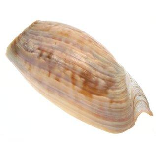 SEAURCO Melon Cymbium 10cm