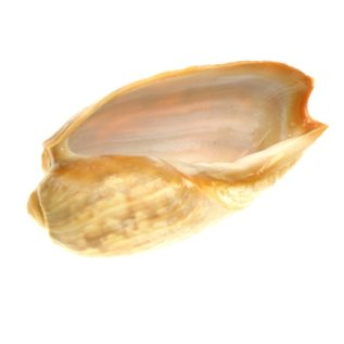 Melon Cymbium 6cm