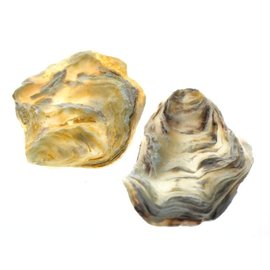 SEAURCO Assorted Flat Oyster Shell Half 7-10cm