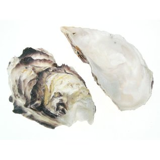 SEAURCO Assorted Deep Oyster Shell Half up to 8cm