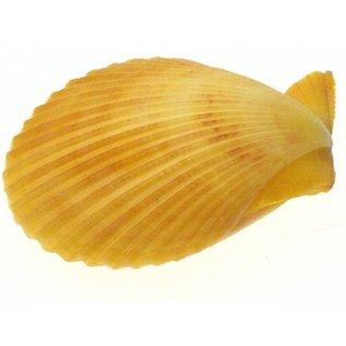 SEAURCO Yellow Pecton Nobilus 3-7cm