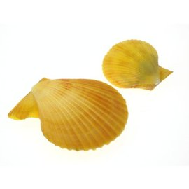 Yellow Pecton Nobilus 3-7cm