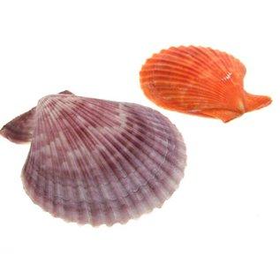 Orange Pecton Nobilus 6-8cm