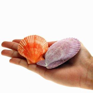 SEAURCO Orange Pecton Nobilus 6-8cm