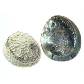 Large Opal Abalone 15cm