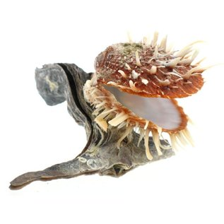 Hammershell with Spondylus