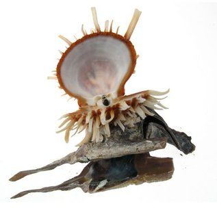 Hammershell with Spondylus