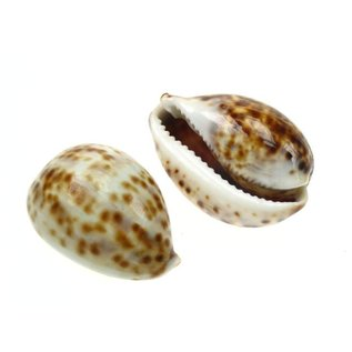 Small Juvenile Tiger Cowries 4cm