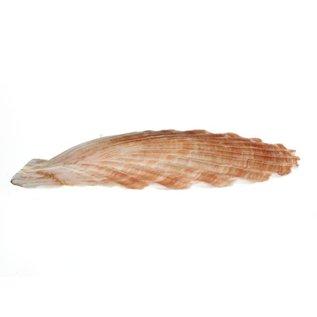 Medium Flat Scallops 10cm.