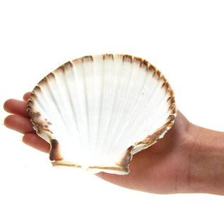 SEAURCO Ex-large Deep Scallops with ground edges 12cm.