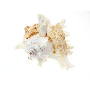 SEAURCO Ex-Large White Murex