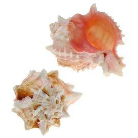 SEAURCO Small Rose Murex