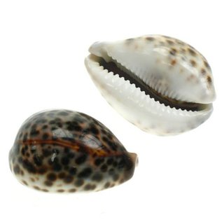 SEAURCO Small Tiger Cowries 4cm