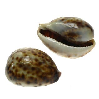 SEAURCO Thin Baby Tiger Cowries 4cm