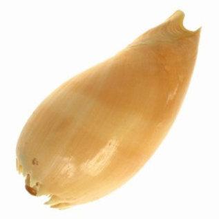 SEAURCO Diadema Melon 10cm